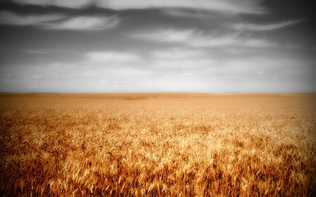 Wheat_by_joshwilcox.jpg