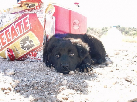 puppy-beer-surly.jpg